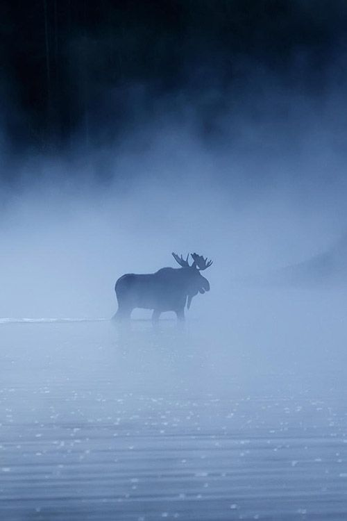 *Bull Moose Crossing the Snake River on a Misty Morning.  (by Thomas Kanady)