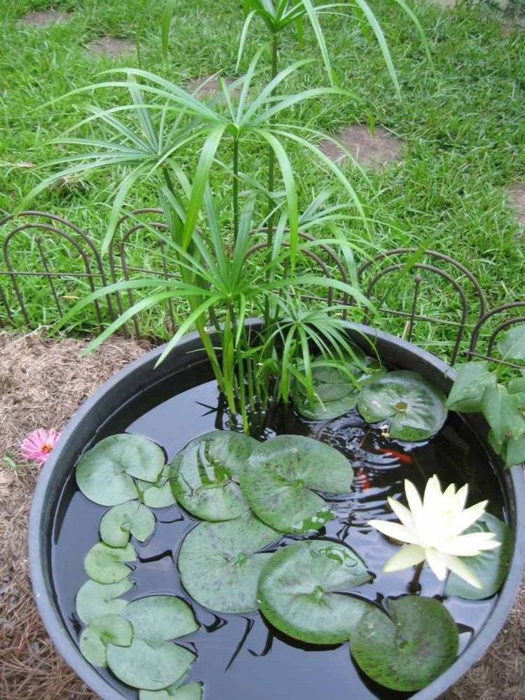 jardin aquatique en pot avec nénuphar blanc et autres plantes aqautiques
