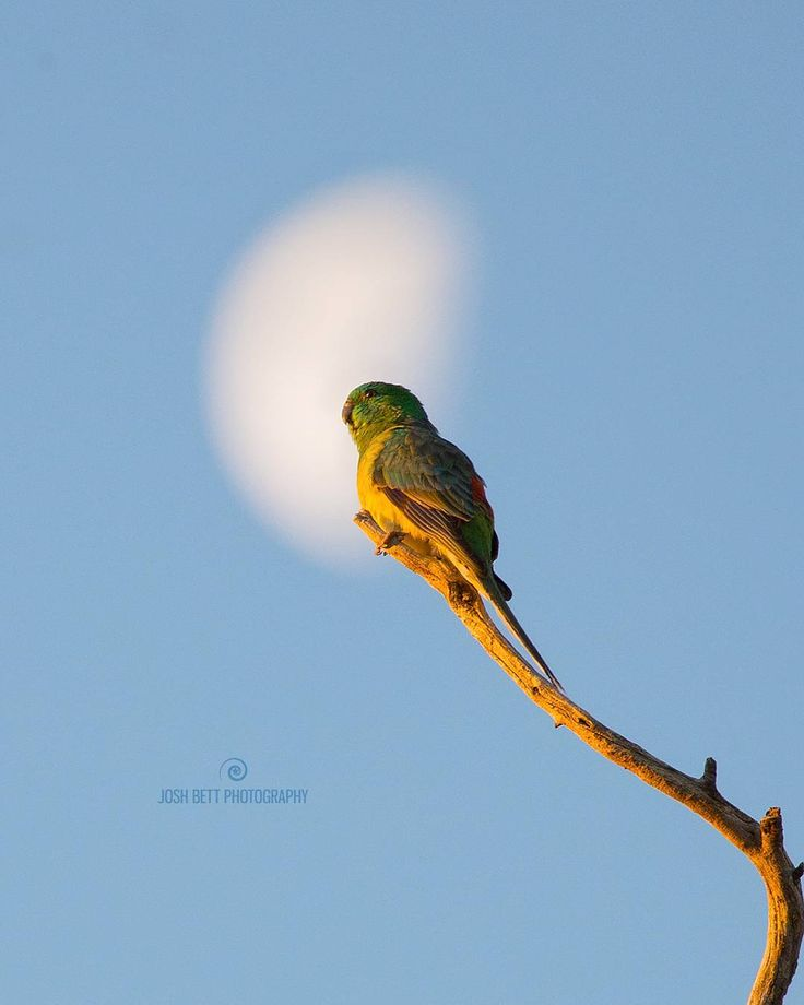 """Red-rumped Waxing Gibbous""  Here's a male Red-rumped Parrot catching the last few seconds of sun light in front of a Waxing Gibbous Moon. I was able to sneak up on a tree full of them which allowed me time to compose a composition with the moon as a backdrop.  It is a really great time of day to photograph Australian parrots, not just because the light is great, but more so because that I have noticed from observing many birds at this time of day that it is easier to get up close and…"