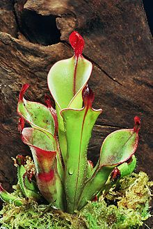 Carnivorous plants - The primitive pitchers of Heliamphora chimantensis are an example of pitfall traps.