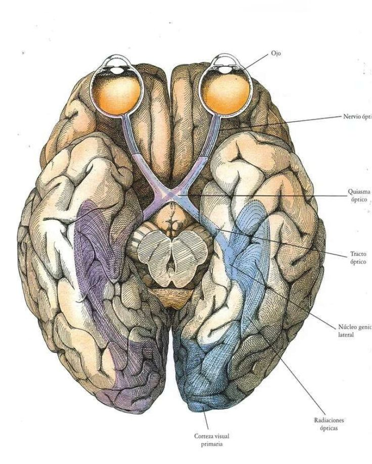 9 best Sistemas images on Pinterest | Neuroscience, Anatomy and Eye