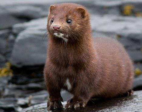 27 best M m as in mink images on Pinterest | Animal kingdom, Wild ...