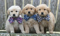 Dogs, Preppy Puppies, Bows Ties, Animal Kingdom, Bow Ties, Bowties, Adorable, Furries Friends, Golden Retriever