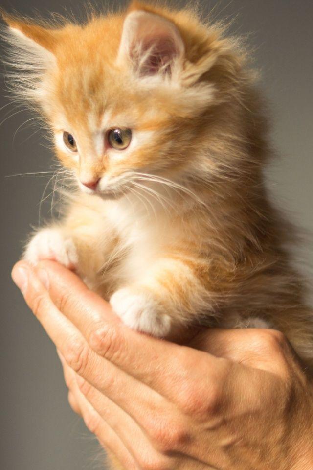 Cute Kitten Cat Mobile Wallpaper