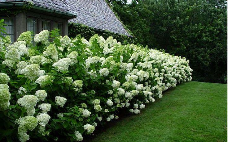 Buy Limelight PeeGee Hydrangea For Sale Online From Wilson Bros Gardens