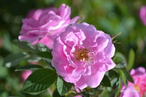 Rose, Rosa Hurdalsrose, Spring 2016, in the Garden.
