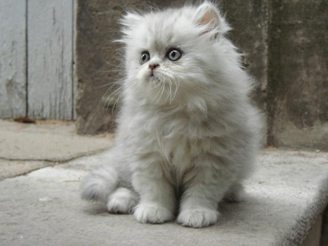 persian kittens | persian kitten photo