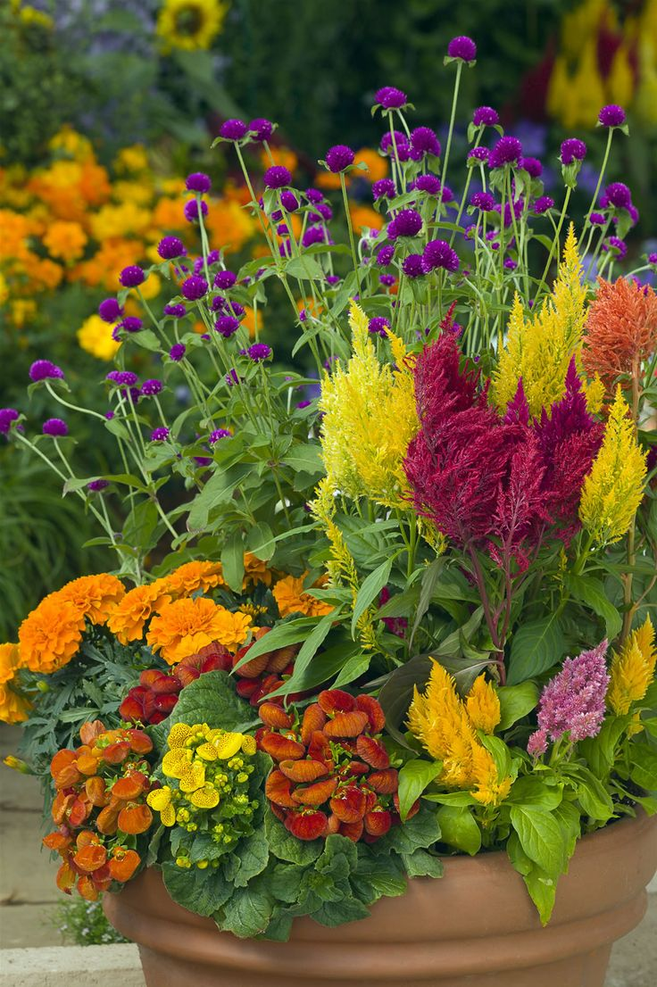 Celosias are beautiful with these marigolds gomphrena and calceolaria patio pots and - Container gardens for sun ...