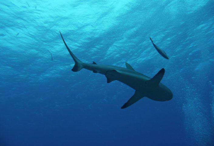 Grönlandhai kann bis zu 400 Jahre alt werden...