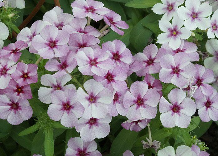 Resultado de imagen para nombre cientifico flor la juanita