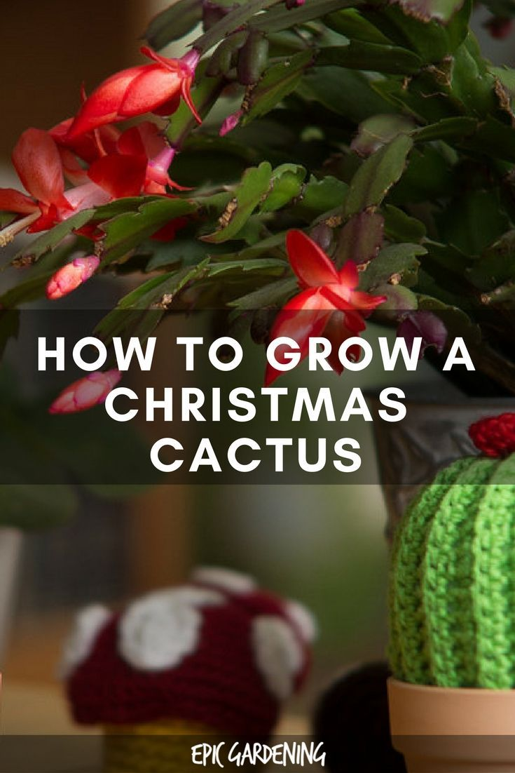 25 best ideas about christmas cactus on pinterest christmas cactus care christmas plants and. Black Bedroom Furniture Sets. Home Design Ideas