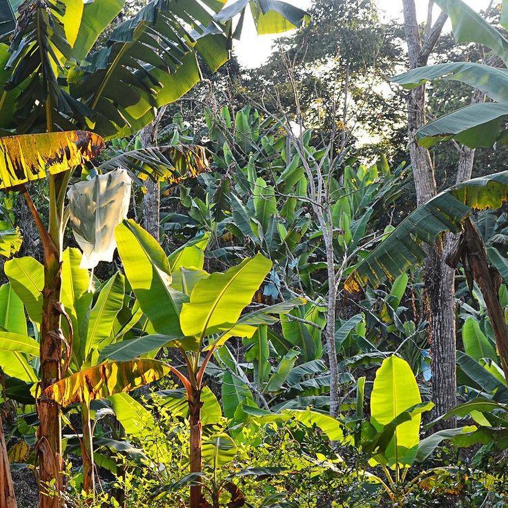 Due to its fertile lands the banana is Urabá's flagship product.  Debido a su tierras fértiles el banano es el producto insignia de la región de Urabá. #SYOUandColombia #Urabá #banana #fact #storytelling #WalkWithUs