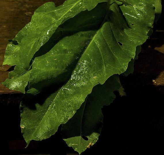 Seminte de spanac peren