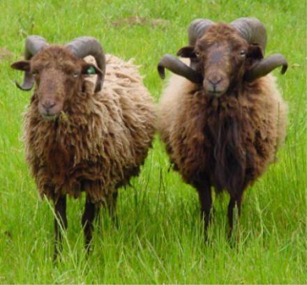 ouessant schapen | Finistère | Bretagne | #myfinistere