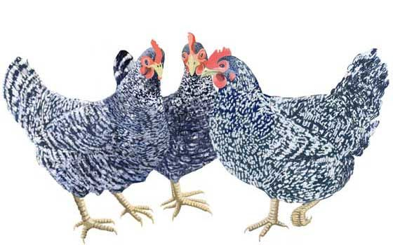 Three French Hens- they represent faith, hope and love......and their feathers are fuller and fancier than regular hens :)