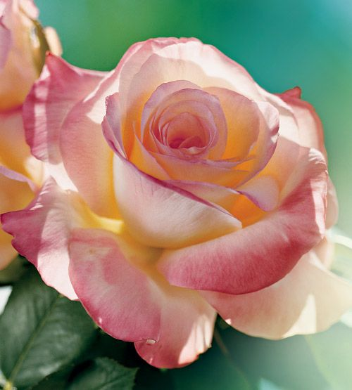 Princess Diana Rose Jackson Perkins | ' Diana, Princess of Wales ' rose , developed by Jackson and Perkins ...
