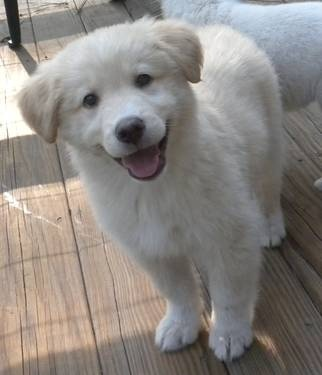 husky/lab mix puppy!!  soo cute