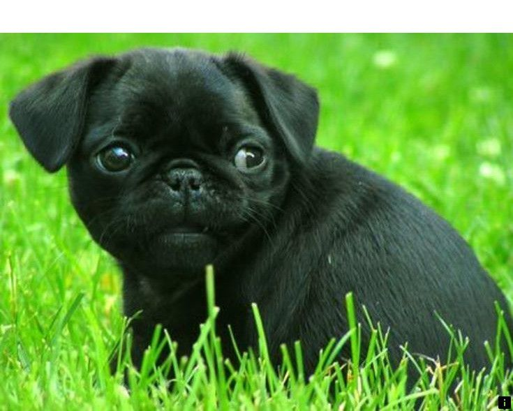 Follow The Link For More Black Pug Puppies For Sale Near Me