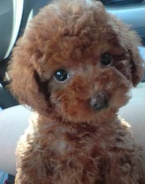 teacup poodles - Google Search