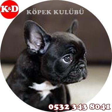 Fransız Bulldog Yavru 0532 343 8041 - SÜS KÖPEKLERİ