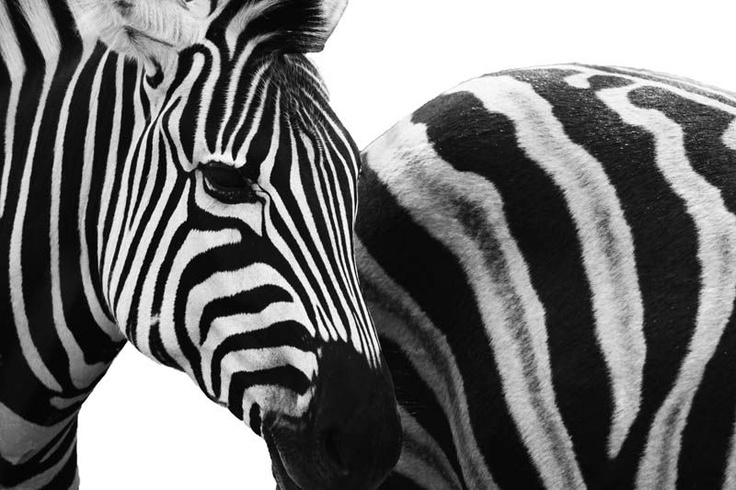 South African Wildlife from the Kruger National Park by Clare FitzGerald (FitzGerald Photographic) #Zebra #FineArt #WallArt #Wildlife