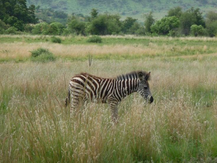 Baby Zebra, Pilanesberg National Park, South Africa