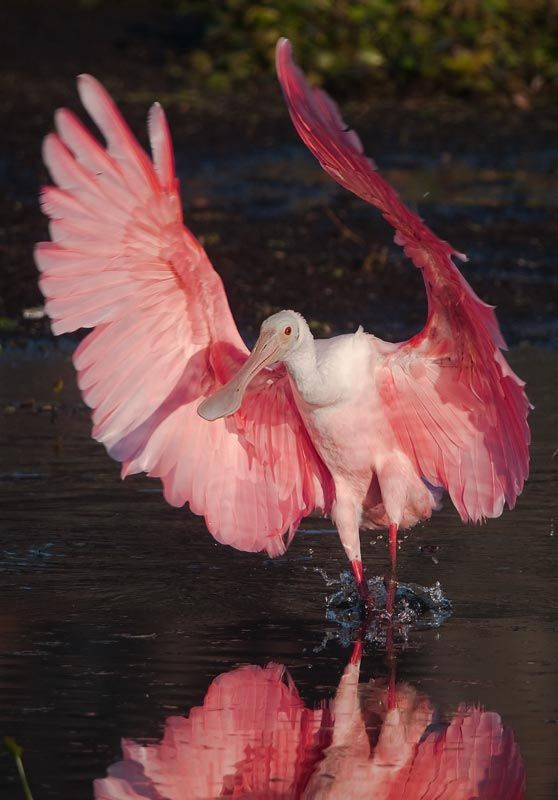 Is this a Scarlet Ibis? Never heard the name but they're beautiful?