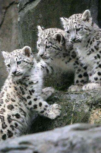 Snow leopard cubs....