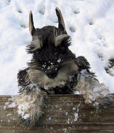 Schnauzer....they always love snow....rain NO! but snow!? Heaven!
