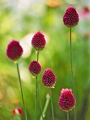 Drumstick Allium, was a fav.