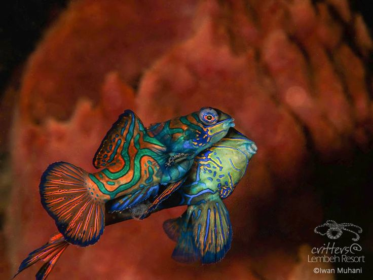 There is no need to explain why these amazing yet small fish are stars. With colors like these they are ready for the red carpet!  Mandarinfish (Synchiropus splendidus) - Photo by Iwan Muhani #StarofLembeh #Lembeh #Diving #Underwaterphotography