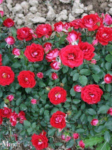 ЦВЕТОЧНАЯ РАПСОДИЯ (саженцы, растения, цветы)