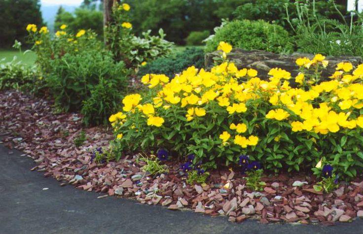 17 Best Images About Primrose On Pinterest Flower