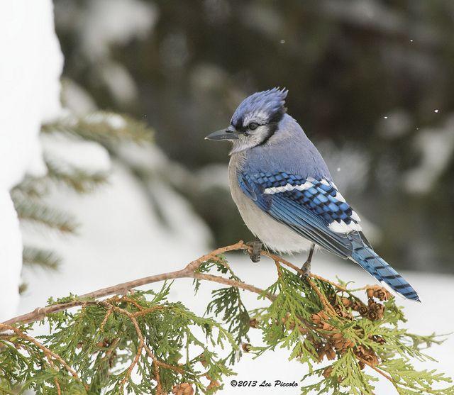 Les Piccolo - Blue Jay Northern Ontario Canada