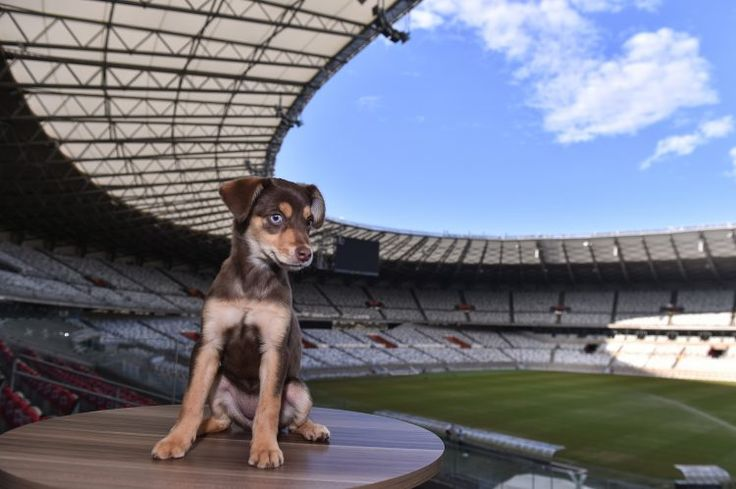 Ginga tem crachá de funcionária no Mineirão e ajuda a integrar equipes; conheça a cadela – Bom Pra Cachorro