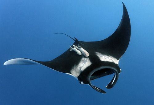 Giant manta rays are found in warm tropical oceans around the world, especiallynear coral reefs and not too far from the shore, although they do make their way to deeper waters if they need to. Description from haydensanimalfacts.com. I searched for this on bing.com/images