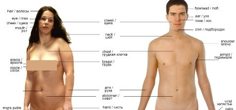 Человеческое тело | Словарь общего английского языка с переводом на русский