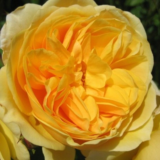Romantikus rózsa - Angol rózsák - PharmaRosa®