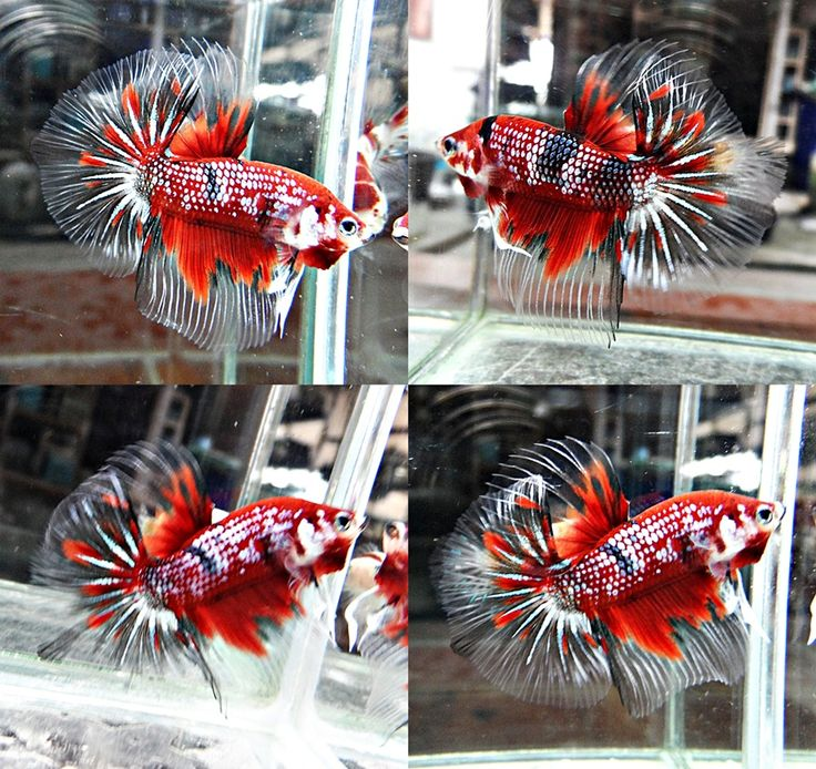 120 best Betta obsession images on Pinterest | Beta fish ...