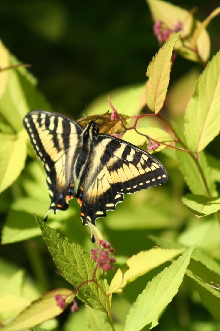 This Tiger Swallowtail butterfly was photographed while hiking the trails in Oneida County. Click for 7 short hikes for nature lovers!