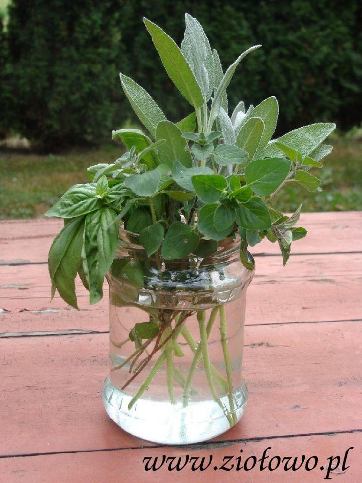 zioła z sadzonek w wodzie