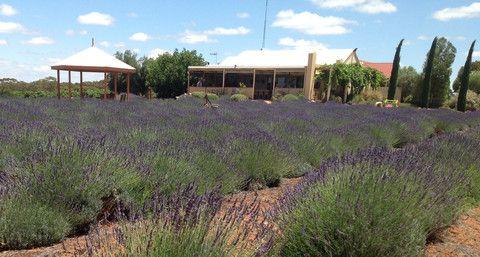Bella Lavender Estate - Contact Us