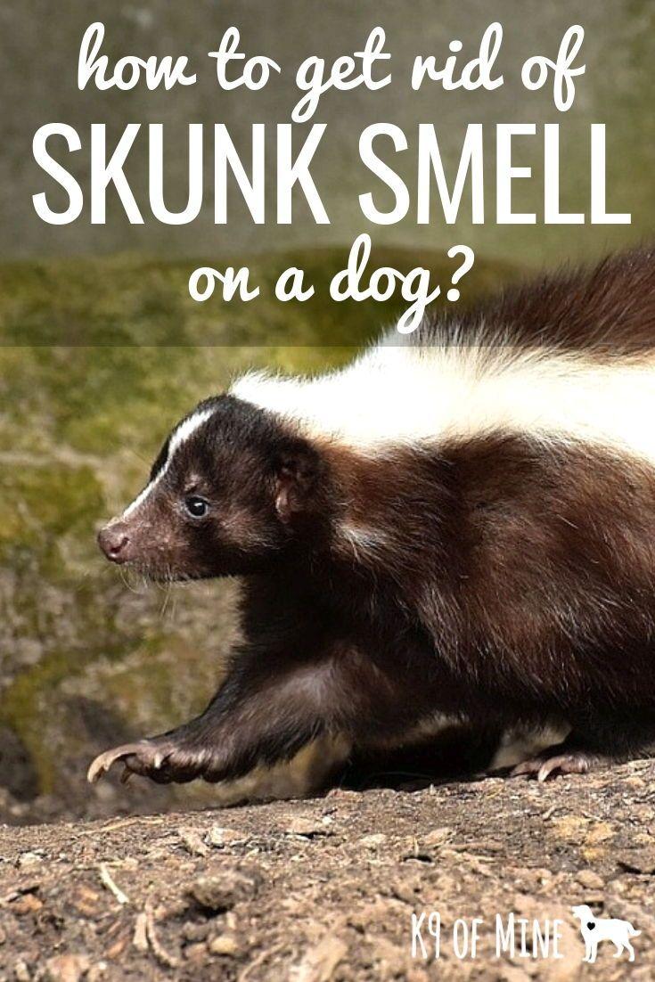 How Do I Get Rid Of Skunk Smell On A Dog Tips Tricks For De Stinking Getting Rid Of Skunks Skunk Smell Dog Skunk