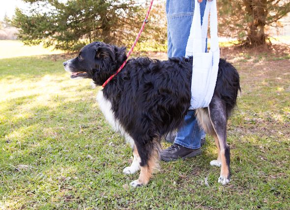 Torn Knee Ligament in Dogs | petMD