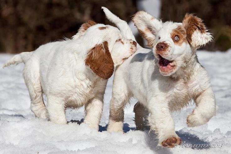 щенки кламбер-спаниеля
