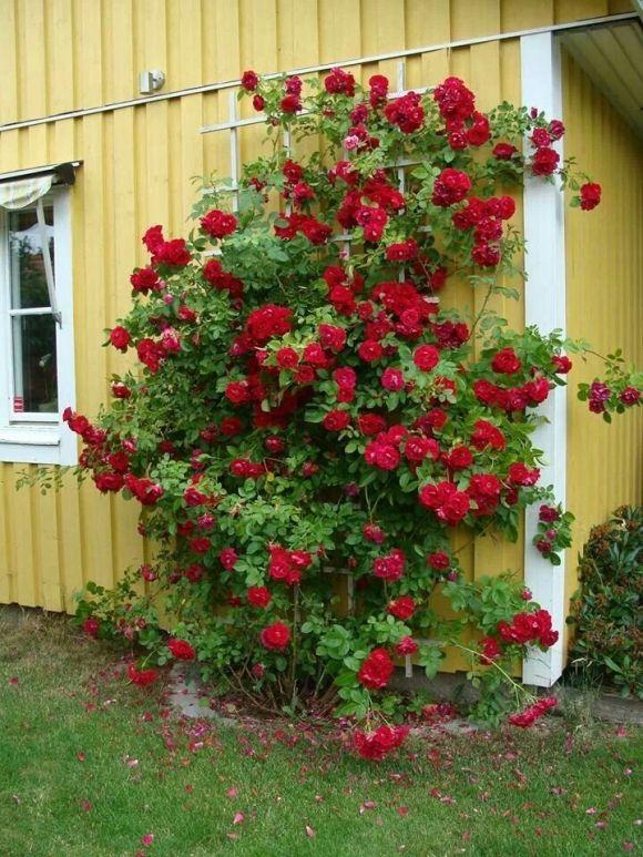 Climbing Roses Trellis Plans