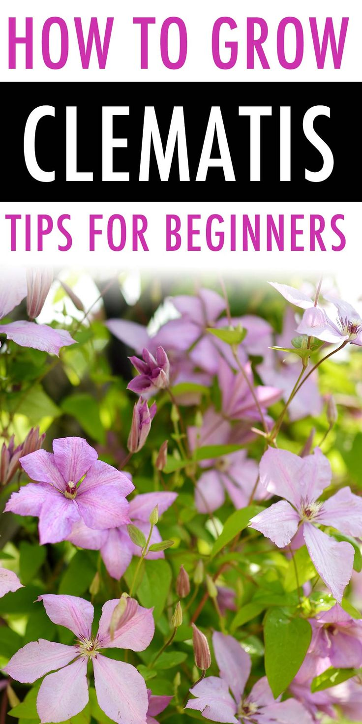 How to Grow and Care for Clematis in 2020 | Clematis ...
