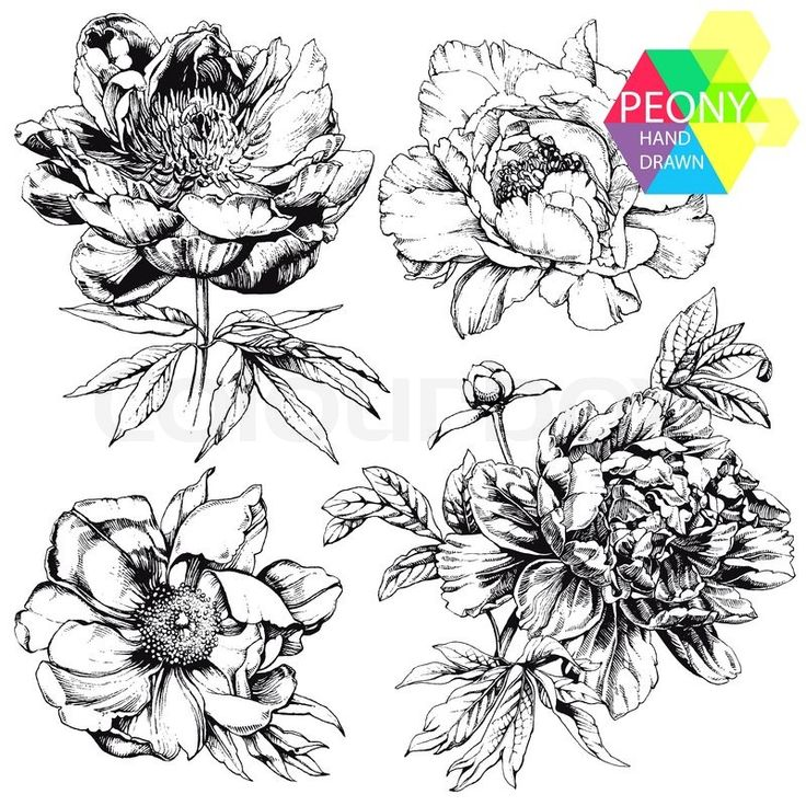 Stock vector of 'Engraved hand drawn illustrations of ornate peonies. Flower buds, leaves and stems can be easily separated and removed'