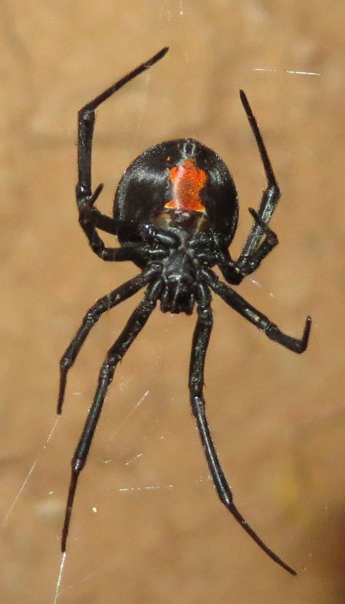 A redback spider in a tunnel in an opal mine in Koroit - about 65 feet below the surface
