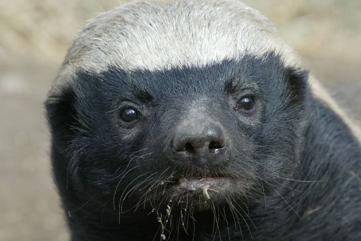 """InformAfrica – The Honey badger, also known as ratel, is a tenacious small carnivorous animal that has a reputation for being """"Africa's most fearless animal ..."""